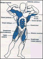 Combien de muscles contient notre corps ?