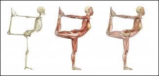 Que permettent les muscles à notre corps ?