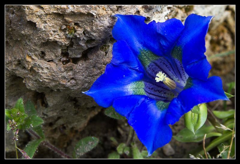 Quelle est cette fleur bleue ?