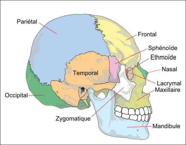 Quel os n'appartient pas au crâne ?