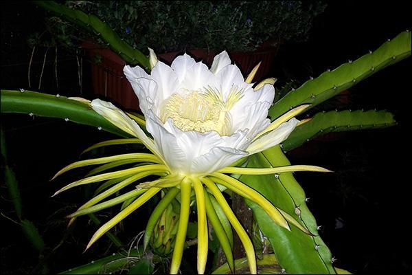 """Cette fleur se nomme """"Belle de nuit"""". Le fruit qui pousse sur cette plante est le fruit du dragon. Quel est le nom de cette plante ?"""