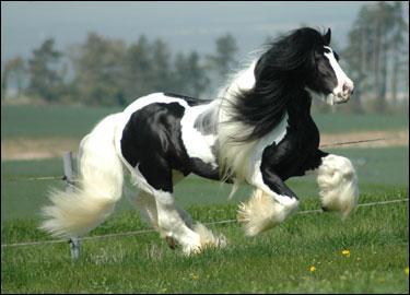 Quel est ce cheval trapu, de petite taille (intermédiaire entre le poney et le cheval de selle) ?