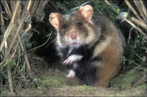 Le grand hamster d'Alsace, rongeur sauvage noir et roux, présent dans la plaine d'Alsace, peut vivre jusqu'à dix ans.