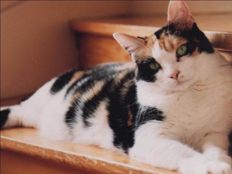Chez les chats, pour des raisons génétiques, seules les femelles portent des robes tricolores.
