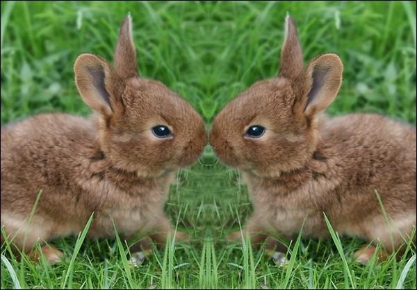 Les bébés lapins sont des lapineaux.