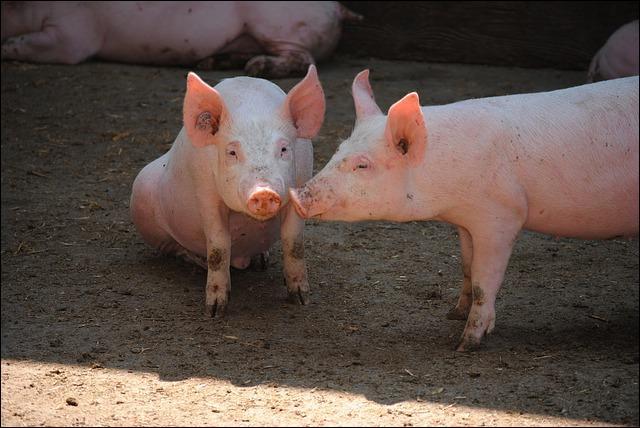 Les cochons ou porcs domestiques sont tous roses.