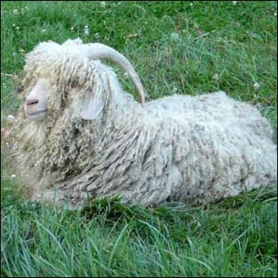 C'est la chèvre angora qui produit la laine mohair.