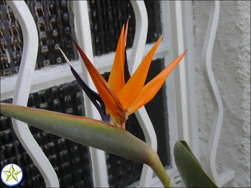 Quel est l'autre nom de la fleur nommée oiseau de Paradis ?
