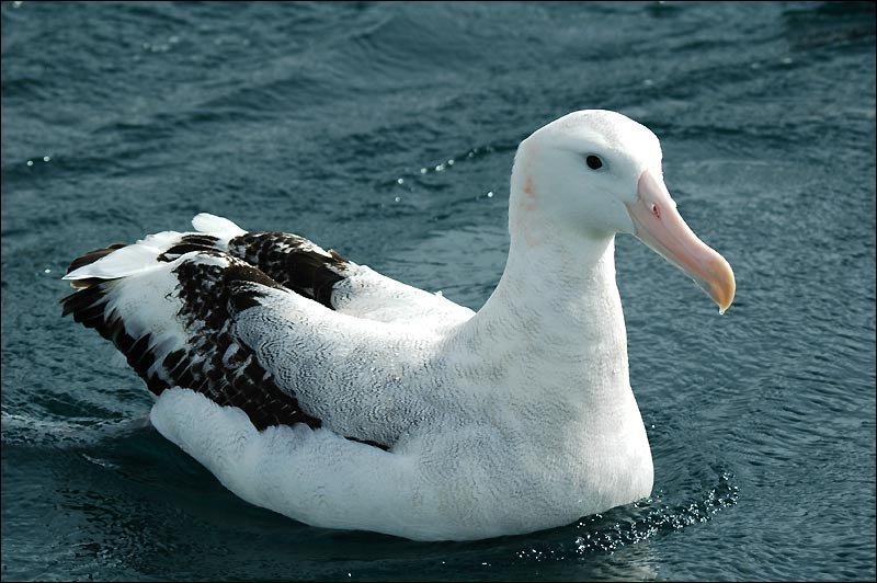 """Qui a écrit """"L'albatros"""" ?"""