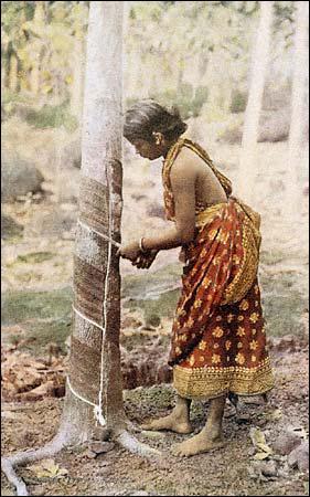 """On extrait le caoutchouc des """"hévéas"""" qui sont des grands arbres tropicaux."""