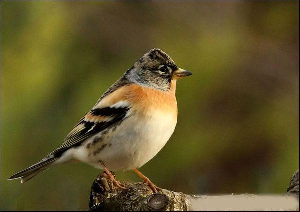 Quizz 10 oiseaux reconna tre quiz oiseaux for Oiseaux de belgique reconnaitre