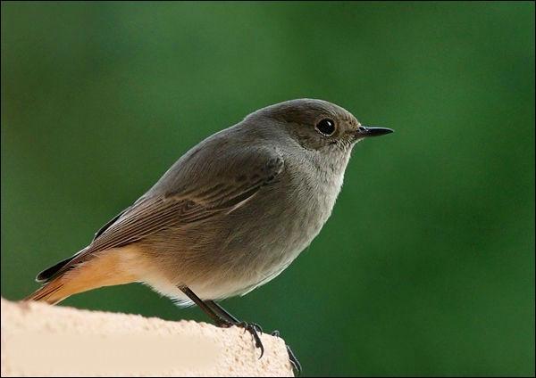 Quel est cet oiseau qui chante en gonflant ses plumes ?