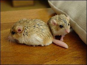 quizz suis je une souris un mulot ou bien un rat quiz rats souris. Black Bedroom Furniture Sets. Home Design Ideas