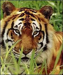 Lequel de ces personnages est un tigre ?