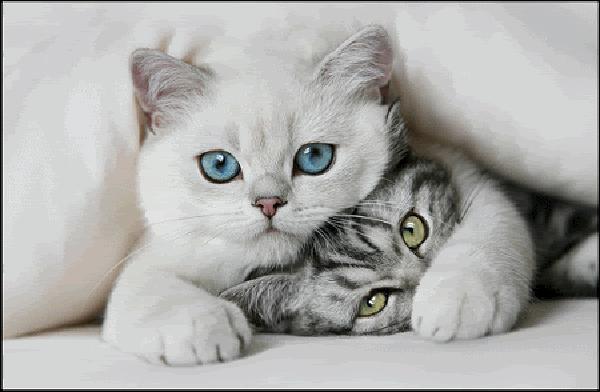Quel handicap frappe souvent curieusement les chats blancs aux yeux bleus ?
