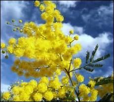 Le mimosa est rayonnant, mais de quel genre est-il ?
