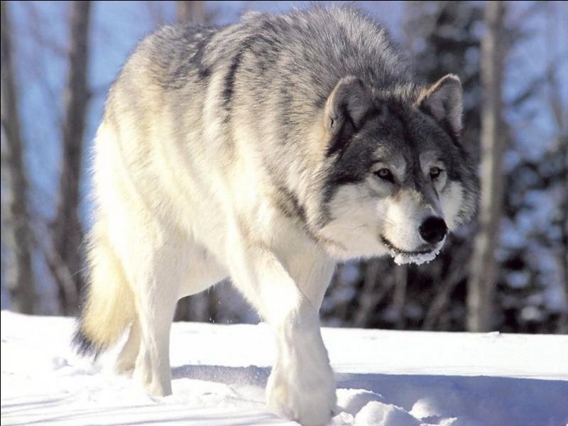 Quel est le nom scientifique du loup gris commun ?