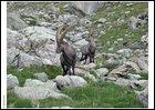 Quel est cet animal des Alpes françaises dont on estime la population à 10 500 têtes en 2013 ?