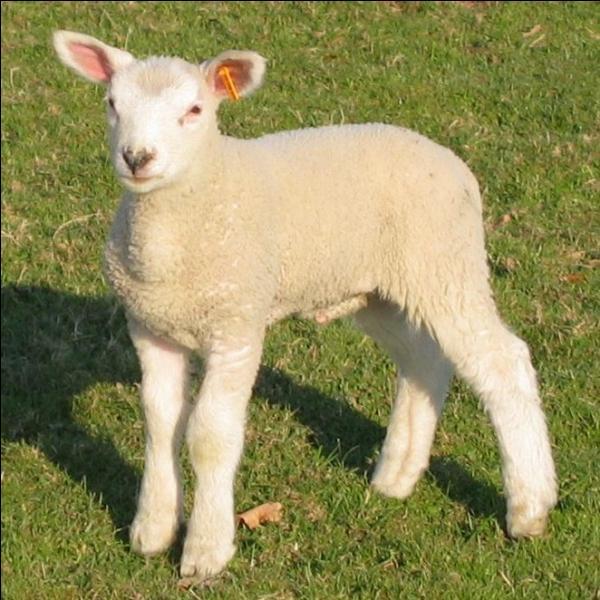 Passé le stade de l'agneau de lait, que devient ce jeune agneau de 25 kg qui a grandi mais qui n'a pas encore un an ?