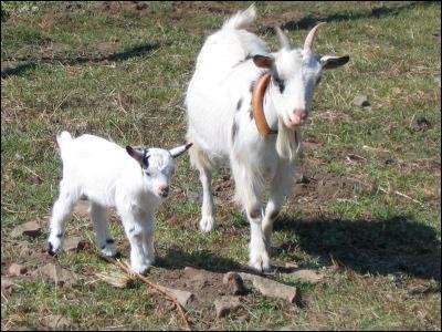 Quel est le nom du petit de la chèvre ?