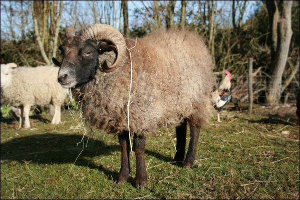 Et enfin, quel est le le reproducteur, qui, avec la brebis donnera la vie à l'agneau ?