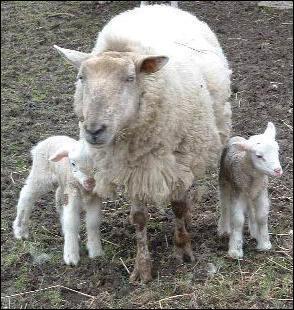 Comment se nomme l'agneau de lait non sevré ?