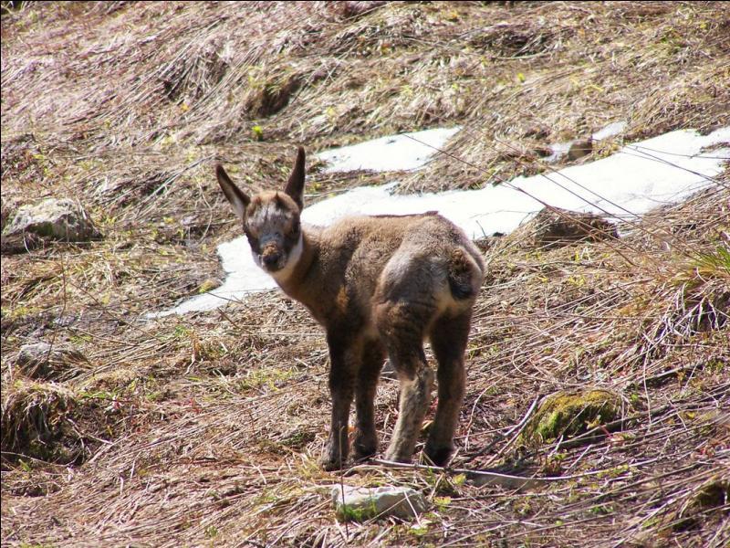Pour l'instant c'est encore un cabri, mais quel nom prendra le petit du chamois lorsqu'il aura un an ?