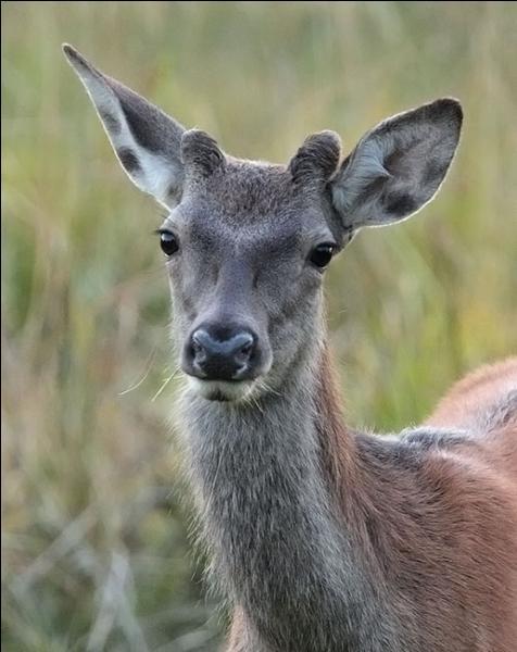Comment se nomme le jeune cerf entre 6 mois et un an ?