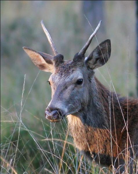 Comment appelle-t-on le jeune cerf qui entre dans sa 2e année ?