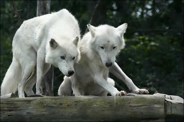 Reconnaissez-vous cet animal qui habite la partie septentrionale de l'Amérique du Nord ?