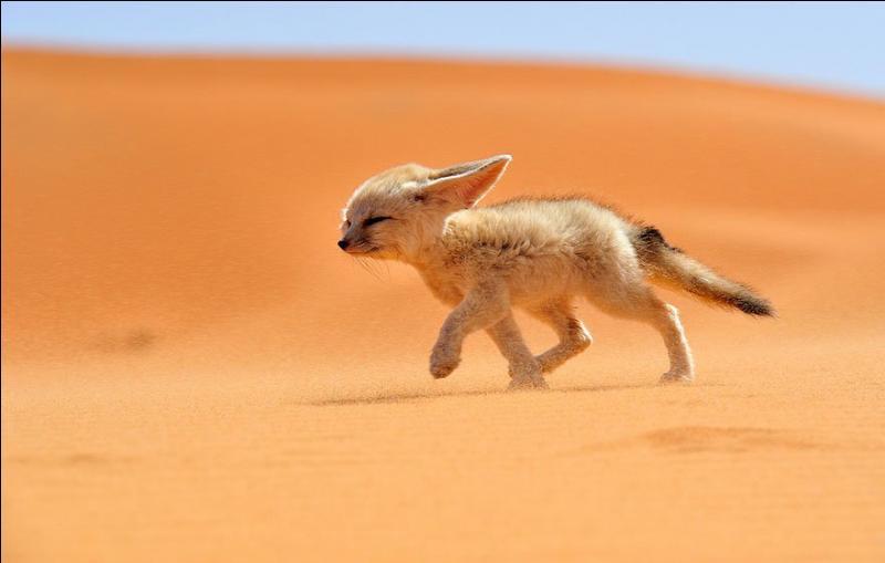 C'est le plus petit des canidés sauvages, on l'appelle aussi renard des sables :