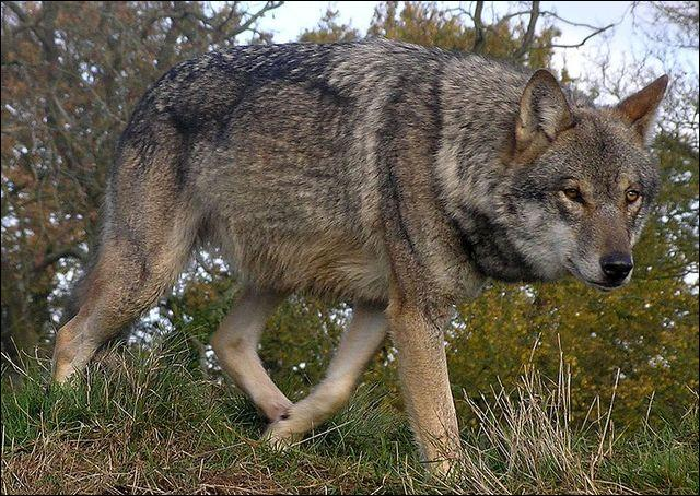 Quel est ce superbe animal qui atteint sa puberté vers deux ans pour devenir un des plus grands des canidés ?