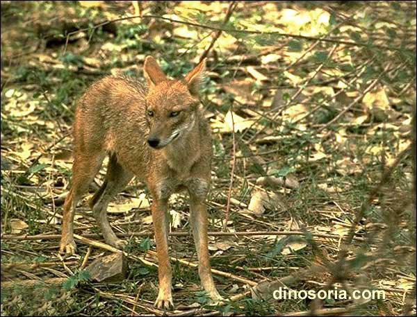 Canidé aux oreilles longues et aux yeux jaunes, il se nourrit de petites proies ou de charognes, chasse en solitaire, souvent la nuit :