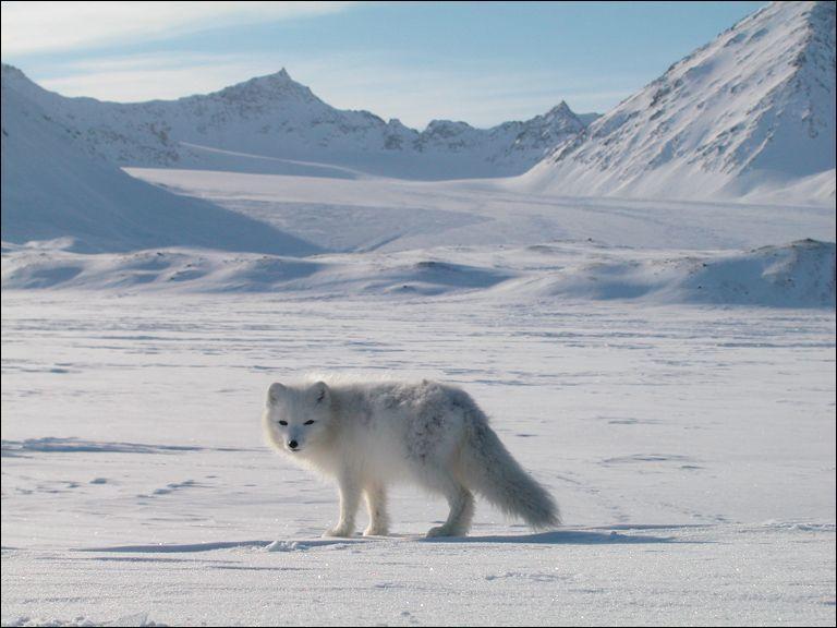 Renard brun qui revêt une belle fourrure blanche en hiver, c'est le renard polaire appelé aussi :
