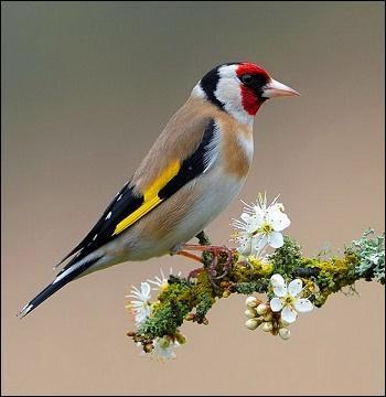 Animaux - A quelle espèce de passereaux présente dans toute l'Europe ce spécimen appartient-il ?