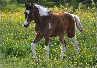 Ce cheval pie a des taches au contour net et régulier. Il a quatre balzanes haut-chaussées et les plaques blanches n'atteignent pas la tête mais traversent la ligne du dos. Il est pie...