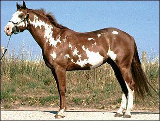 Ce cheval pie a des taches au contour très déchiqueté et irrégulier. Ses balzanes sont incomplètes car elles ne font pas tout le tour du membre. Ses plaques blanches atteignent la tête mais ne traversent pas la ligne du dos. Il est pie...