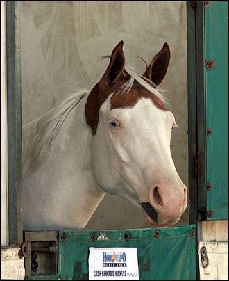 Ce cheval pie a une tache autour des oreilles et autour de la bouche. Ses taches sont régulières et s'étendent sur les flancs. Ses plaques blanches traversent la ligne du dos et ses membres sont blancs. Il est pie...