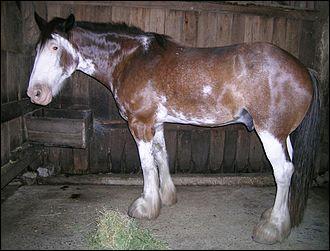 Ce cheval pie est en réalité bai mais a des balzanes très haut-chaussées qui s'étendent jusqu'au ventre. Il présente une belle-face qui s'étend jusqu'à la gorge. Le contour de ses marques blanches sont très déchiquetées. On dit qu'il est...