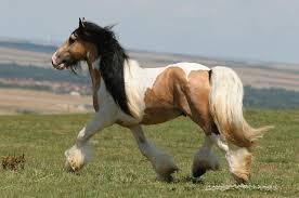 Les chevaux à robe pie