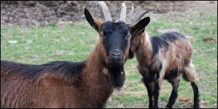 De quelle question « Des chèvres. » est-elle la bonne réponse ?