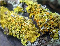 Le lichen est...