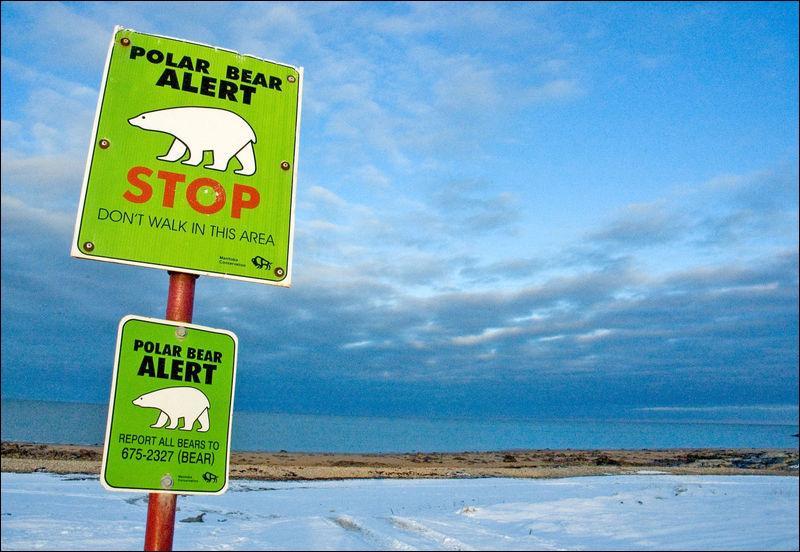 """Dans la ville de Churchill, au Canada, surnommée """"La capitale des ours polaires"""", de jour comme de nuit et pendant deux mois ..."""