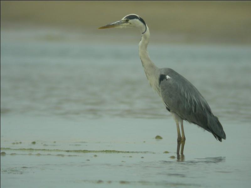 Quizz cormorans et h rons quiz oiseaux - Quel est le plus grand port d afrique ...