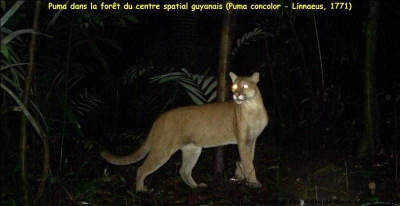 Où peux-tu voir un puma à l'état sauvage ?