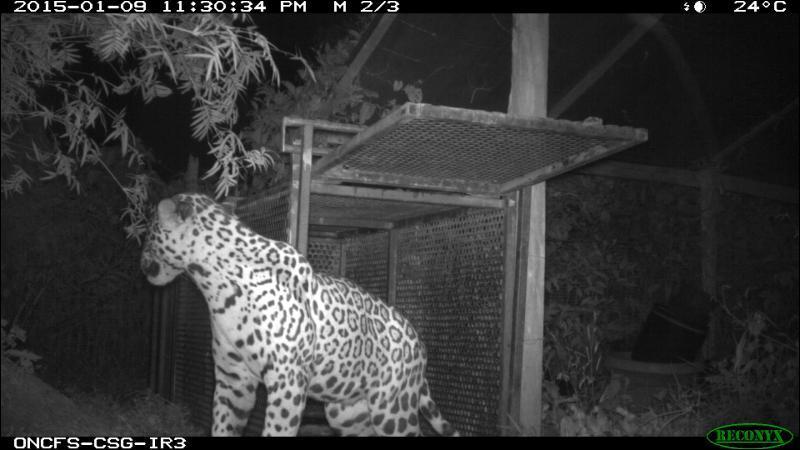 La photo fut prise chez une voisine, en Guyane, début janvier 2015, reconnais-tu cet animal ?