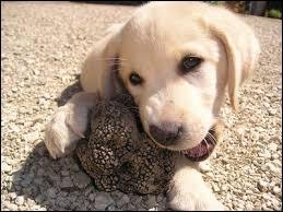 Animaux - Hormis le chien, quel autre animal utilise-t-on pour rechercher des truffes ?