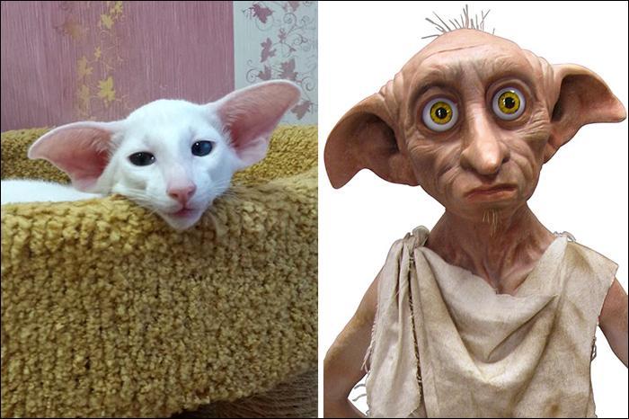 Par son nez allongé mais surtout ses oreilles gigantesques, ce chat évoque un personnage de saga culte. Il s'agit de :