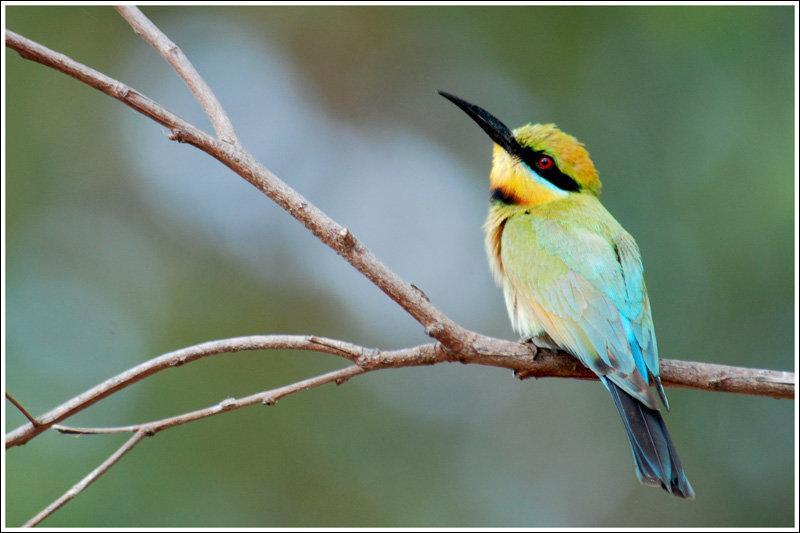 """Quel est cet oiseau """"arc-en-ciel"""" d'Australie ?"""