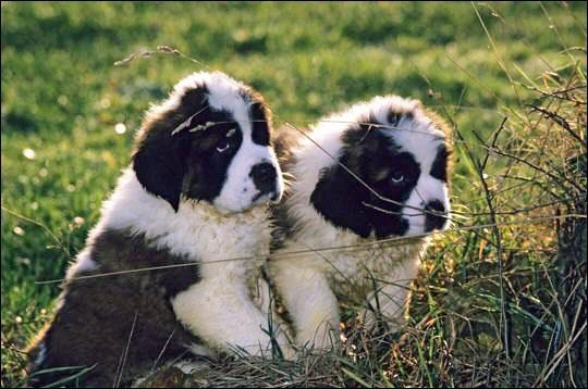 De quelle race sont ces petits chiens qui vont devenir puissants et gros ?